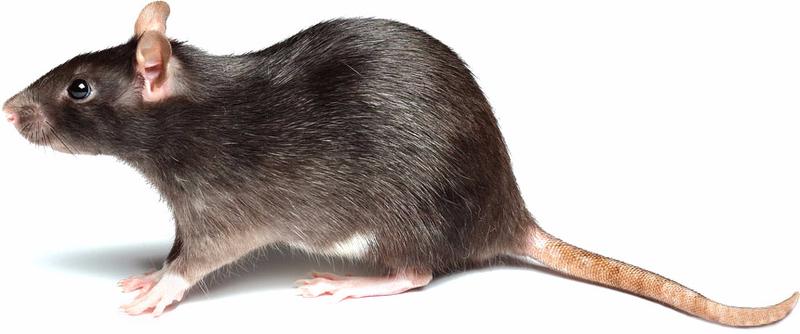 Fumigaciones bayer el fumigador como matar ratas el - Como matar ratones ...
