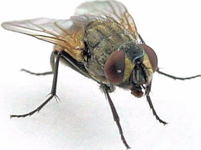 Como ahuyentar moscas el fumigador bayer cuanto vive una mosca - Como espantar moscas ...